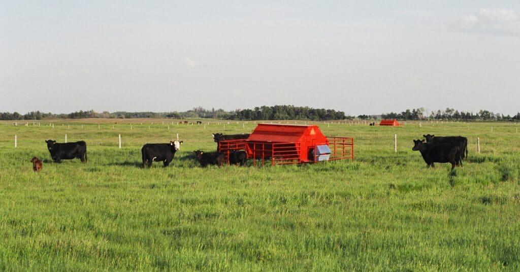 Cattle at a creep feeder